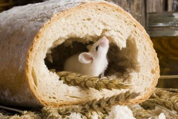מה אוכל עכבר ?