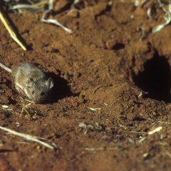 עכבר השדה