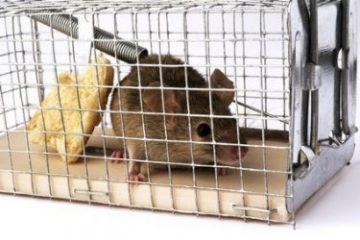 איך לתפוס עכבר ?